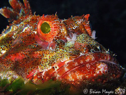 A huge Northern Scorpionfish  (Scorpaena cardinalis) fill... by Brian Mayes 